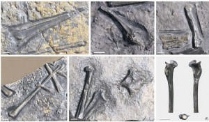 varios huesos d eprejanopterus
